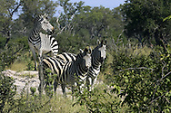 Three common zebras (Equus burchelli) standing on a termite mound.