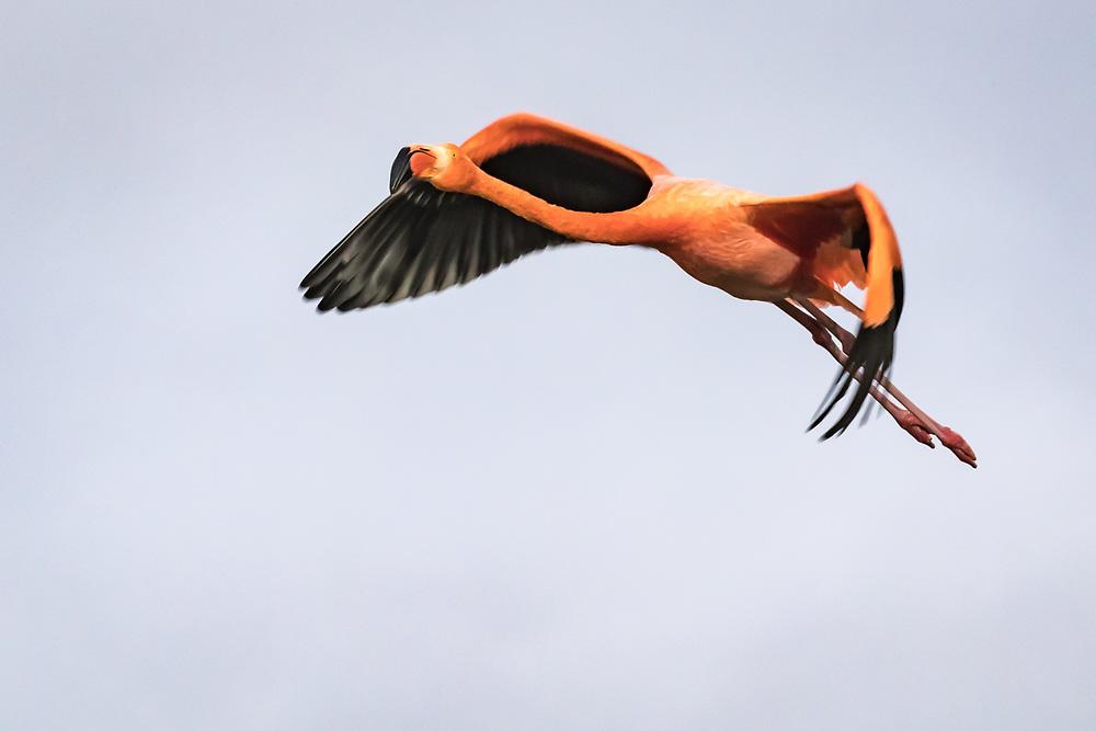 Phoenicopterus ruber, Galapagos