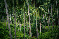 A grove of wild coconut trees on Koh Samui island, in southern Thailand.