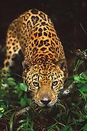BELIZE / Belize City / Jaguar at the zoo...© JOAN COSTA