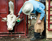 PRICE CHAMBERS / NEWS&amp;GUIDE<br /> Chase Lockhart gives a calf a haircut to keep the ear tag visible.