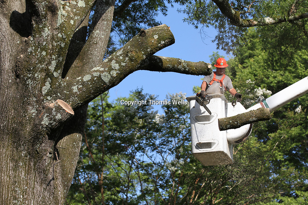 The nearly 80 year old Oak tree has to be cut down in small sections so not to damage near by houses, sidewalks, driveways and assorted electrical and other lines.