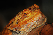 This is a photograph of a Bearded Dragon.