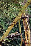 Leopard in yellow barked acacia tree, Ngorongoro Conservation Area, Tanzania.