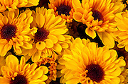 Close-up of bunch of sunflowers (Helianthus annuus)