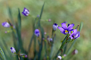 Sisyrinchium angustifolium 'Lucerne' spring blooms in a backyard garden. Also known as Narrow Leaved Blue Eyed Grass.