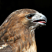 A Red-tailed Hawk, Buteo jamaicensis, portrait looking forwards. Turtleback Zoo, West Orange, New Jersey, USA