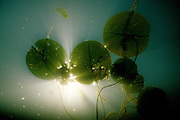 Lily Pads from below, underwater - Quebec, Canada
