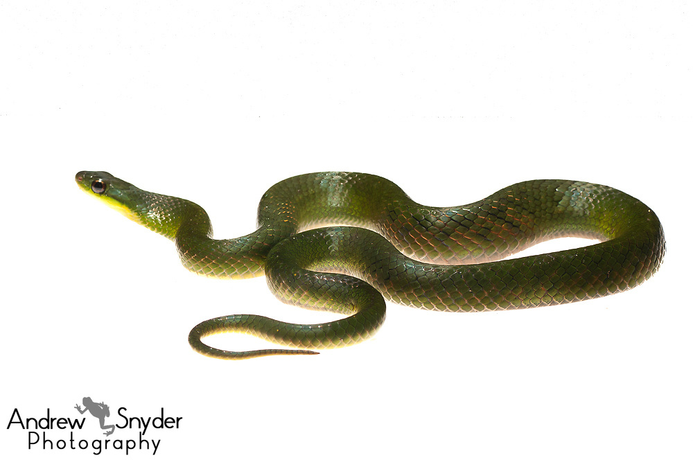 Blind swamp snake, Liophis typhlus, Chenapau, Guyana, March 2014