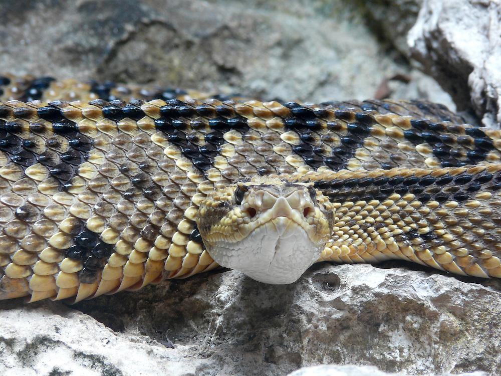 EN&gt; A rattle snake moving forward | <br /> SP&gt; Una serpiente de cascabel avanzando