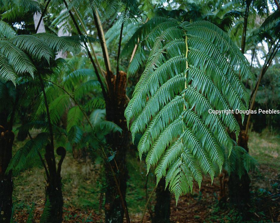Tree Fern, Rainforest, Hawaii Volcano National Park, Island of Hawaii, Hawaii, USA<br />