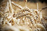 Nederland, Millingen, 24-7-2017 Een veld met tarwe, graan wordt door een combine geoogst. Tarweveld, graanveld. Door het droge en warme weer wordt de tarwe vroeg van het land gehaald en is minder groot . Foto: Flip Franssen