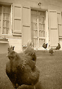 chickens running in yard in front of french house,sepia, verticle