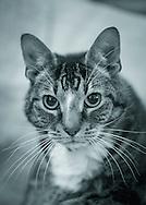 Sydney tabby cat, in Long Island, New York, USA, on December 18, 2015