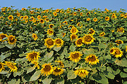 SUnflowers<br /> Taber<br /> Alberta<br /> Canada