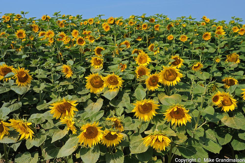 SUnflowers<br /> Taber<br /> Alberta<br /> Canada
