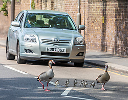 © Licensed to London News Pictures. 10/04/2020. London, UK. Cars stop for a family of geese which decided to walk down a main road in Wandsworth. A family of Egyptian geese including six chicks caused a bit of a stir in Wandsworth in South London, as they went on a Easter Sunday walk. But their derring escape from nearby Richmond Park possibly breaking lockdown rules was unfortunately foiled by passers-by who tried to help them return to the park and away from the main roads. Photo credit: Alex Lentati/LNP