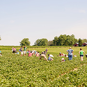 Butler's Orchard, in Germantown, MD, opens its fruit fields to visitors to pick their own strawberries, blueberries, and apples.