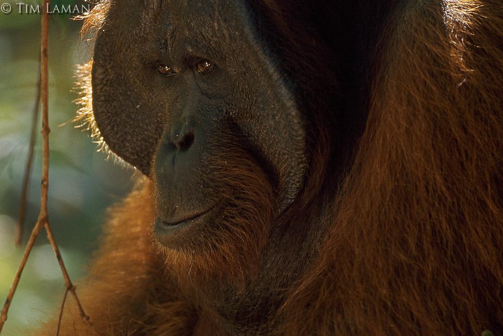 Portrait of Jari Manis, a wild adult male orangutan (Pongo pygmaeus).