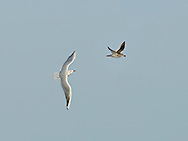 Black-headed Gull, Chroicocephalus ridibundus, pursuing Redshank, Tringa totanus in kleptoparasitic pursuit.