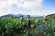 Harvesting taro, Kauai, Hawaii
