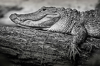 a black and white treatment of an American alligator found in Merchant Millpond State Park, North Carolina
