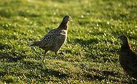 TEXEL- Cocksdorp-TEXELSE GOLF. Vogels,  fazanten , COPYRIGHT KOEN SUYK