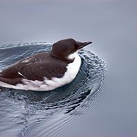 Arctic Birdlife