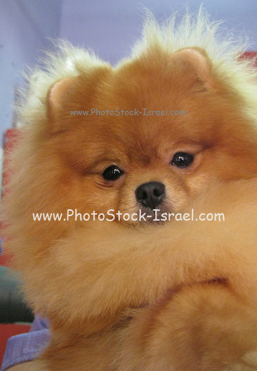 The Pomeranian (often known as a Pom) is a breed  of dog of the Spitz type, named for the Pomerania region in Central Europe