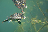 Red-Eared Slider Turtle<br />
