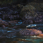 A harbor seal basks in a sliver of sunlight beneath the cliffs of Moss Cove at Point Lobos. Carmel, CA.