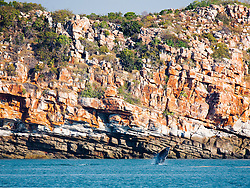 A Humpback whale calf breaches next to the cliffs at Lulim Island, Camden Sound,  on the Kimberley coast.