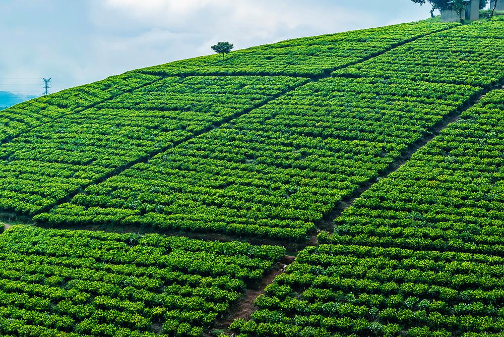Ankole Tea Estate, Bushenyi, Uganda.