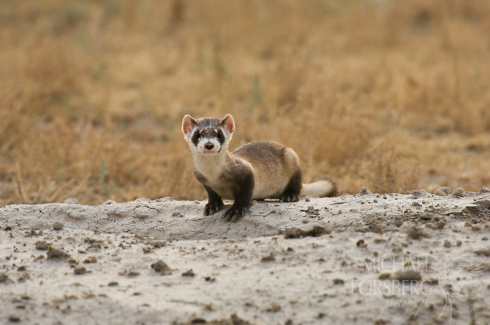 A black-footed ferret (Mustela nigripes) stands at the entrance to a prairie dog burrow in the Conata Basin.  Buffalo Gap National Grassland, South Dakota.