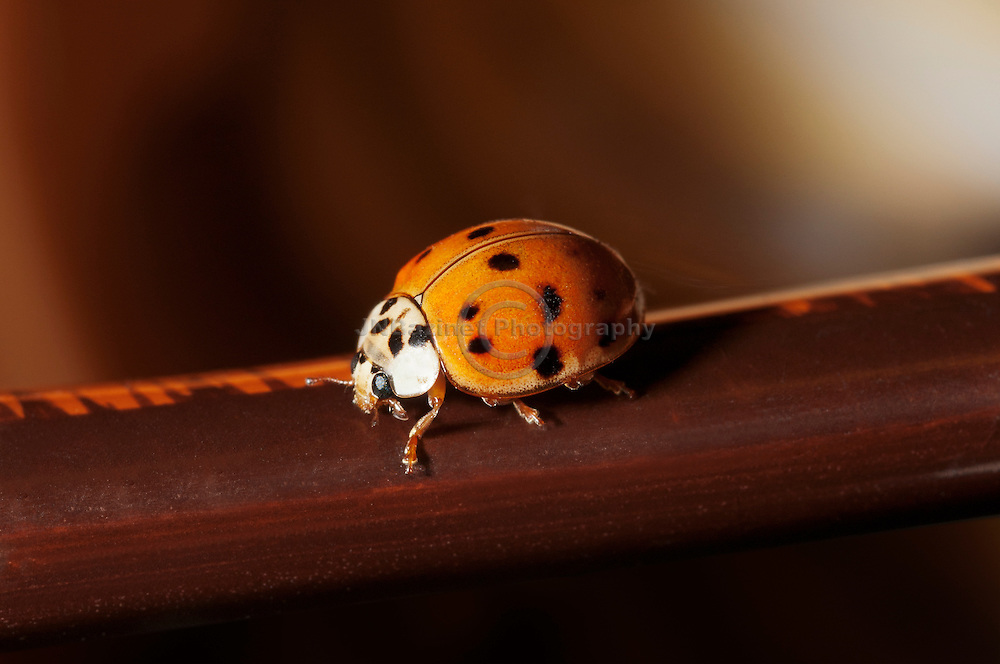 North American Ladybug (ladybird)  from the Coccinellidae family of beetles