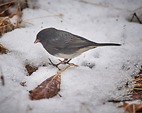 Dark-eyed (Slate colored) Junco. Image taken with a Nikon D5 camera and 600 mm f/4 VRII lens (ISO 900, 600 mm, f/4, 1/1250 sec).