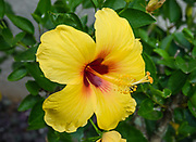 Hibiscus brackenridgei (commonly called Ma'o Hau Hele, Brackenridge's Rosemallow, Native Yellow Hibiscus, or Pua Aloalo) is the official Hawaii state flower, a native shrub. The yellow flowers either have a solid red center or just small splotches of red at the base of each petal. Although it is cultivated in Hawaiian gardens, this legally-protected plant is endangered in the wild, where few plants remain due to overgrazing by non-native animals, competition with non-native weeds, fire, and land development.  Photographed in hotel landscaping in Princeville, on the island of Kauai, Hawaii, USA.