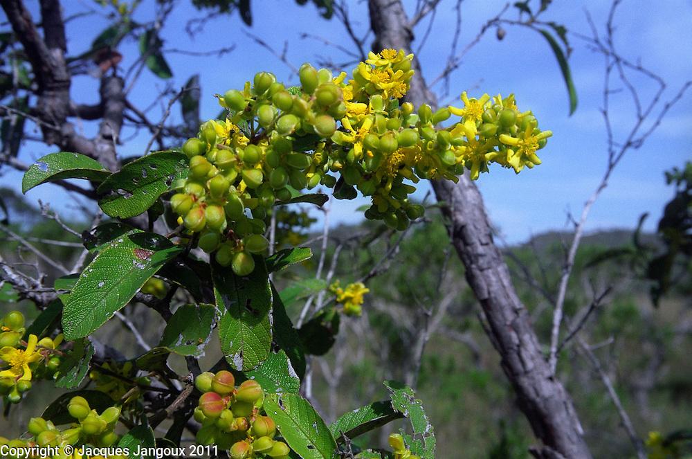 Flowers of Davilla elliptica (family Dilleniaceae), a shrub or small savanna tree in the Cerrado (brazilian savanna) biome: Brazilian Highlands, Goias State, Brazil.