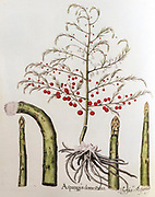 Hand painted print of Asparagus from Hortus Eystettensis, a codex produced by Basilius Besler in 1613 of the garden of the bishop of Eichstätt in Bavaria.