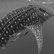 Whale shark (Rhincodon typus) with injury, Honda Bay, Palawan, the Philippines.