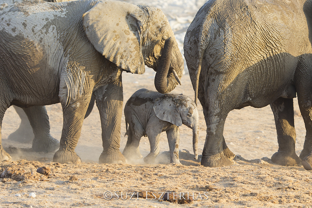 African Elephant <br /> Loxodonta africana<br /> Young calf in herd<br /> Etosha National Park, Namibia