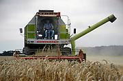 Nederland, Ooijpolder, 10-8-2004..Door het hele land zijn akkerbouwers en loonbedrijven in de weer de graanoogst binnente halen. Na vandaag is het weer wisselvalliger, dus maken zij dagen van 8 toto 12 in de nacht, zoals deze akkerbouwer, die zijn  perceel bij Ooij zelf met de combine binnenhaalt. landbouw, graanprijs, voedselproductie, subsidies, europa, combine, mechanisatie...Foto: Flip Franssen/Hollandse Hoogte