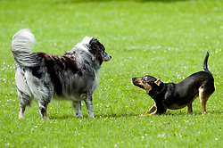 Young playful Black and Tan juvenile mongrel dog greets an older dog in the local park <br />