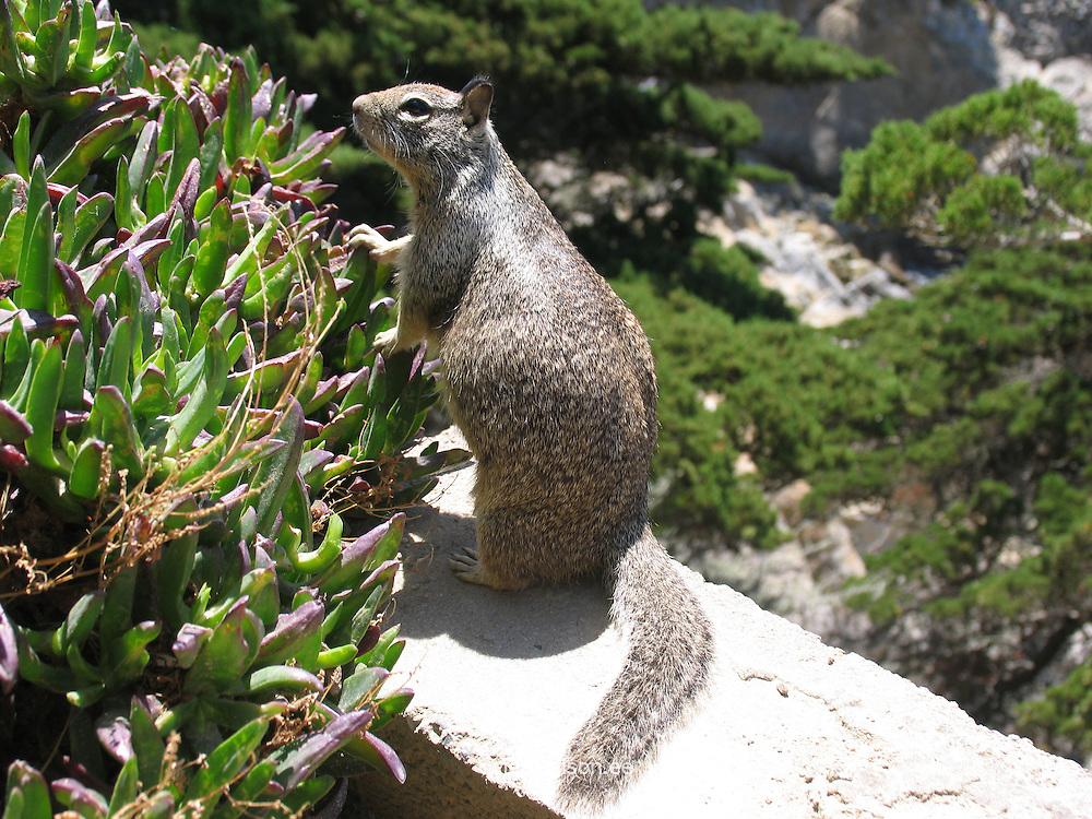Squirrel in Yosemite National Park, California, USA