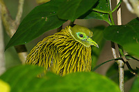 Golden Dove male photo Kula Eco Park, Fiji