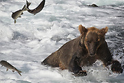 A subadult brown bear chases salmon at Brooks Falls in Katmai National Park, Alaska.