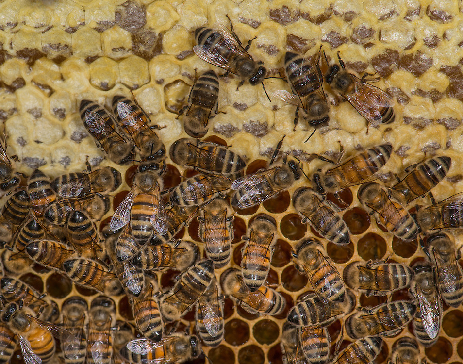 European honey bee (Apis mellifera), capped honey, Captive,  credit: Palo Alto JMZ/M.D. Kern