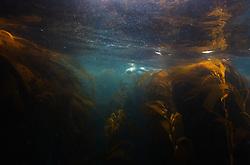 King Penguin (Aptenodytes patagonicus) underwater, Macquarie Island, Sub-Antactcita, Australia