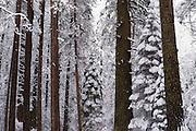 Winter pines, Yosemite Valley, Yosemite National Park, California USA