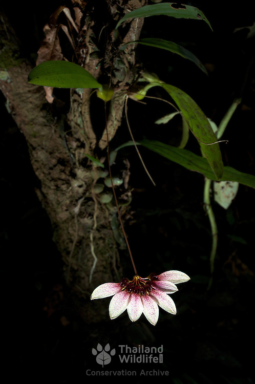 A Cirrhopetalum lepidum wild orchid photographed in the wild at Pang Sida National Park Thailand. The Thai name for the orchid is Singto Bai Phat Daeng. It flowers just once a year at the end of the rainy season between September and November